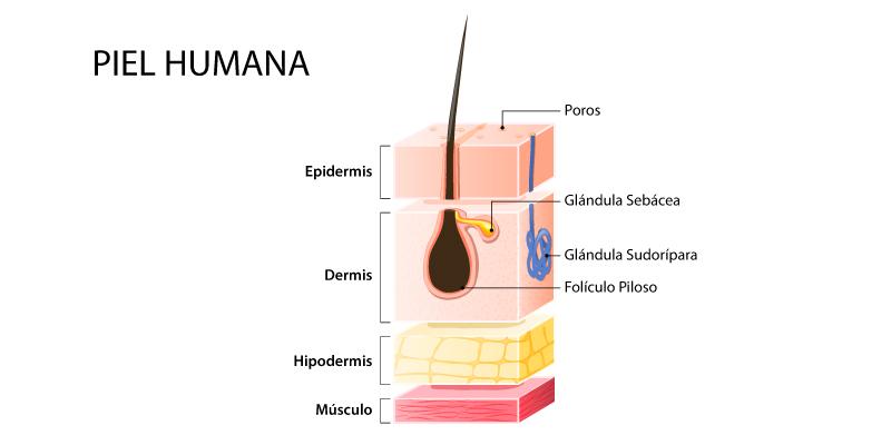 donde se encuentran las glandulas sudoriparas